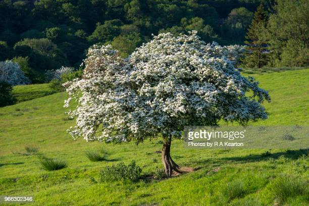 Single Hawthorn tree in full blossom in English countryside