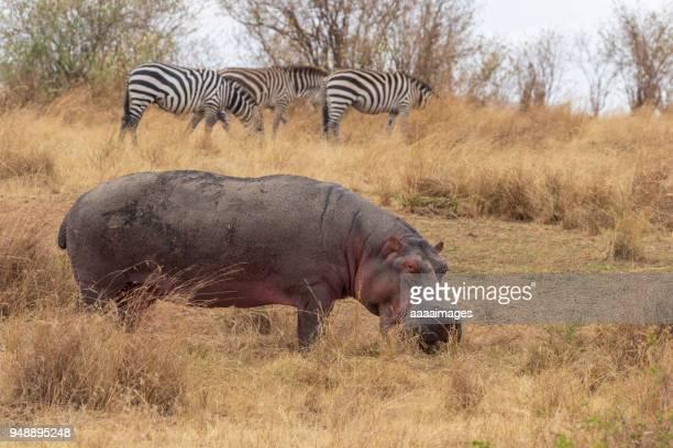 single Hippopotamus and zebras on the savannah