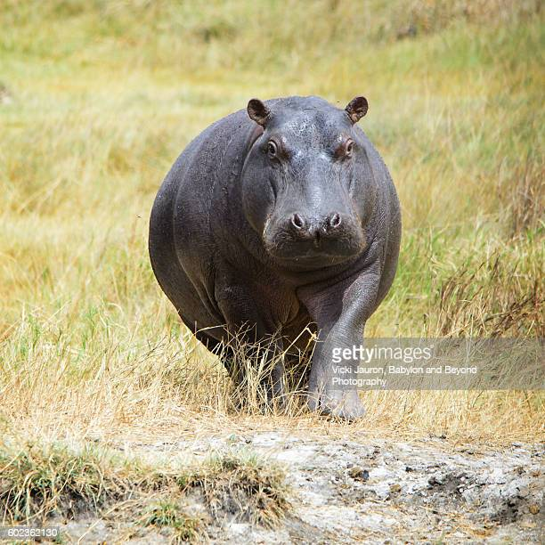 Single Hippopotamus Walking Forward in the Serengeti, Tanzania