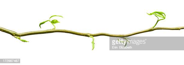 single horizontal branch with new leaves growing - bud stock pictures, royalty-free photos & images