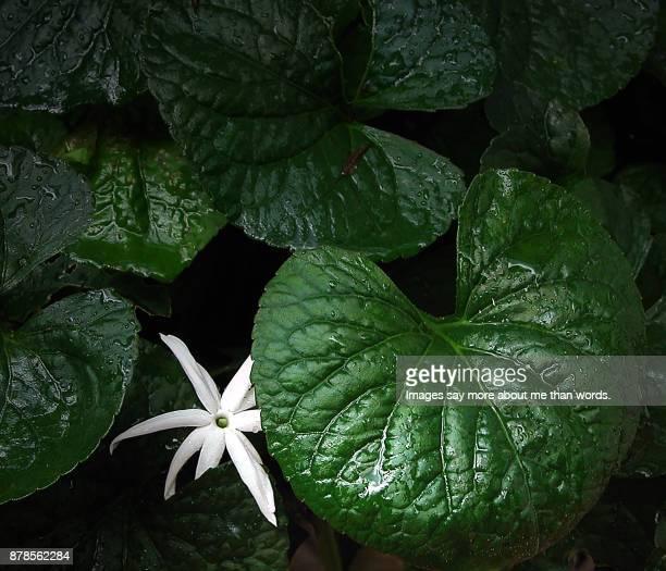 A single jasmine flower among a garden greens after the rain.