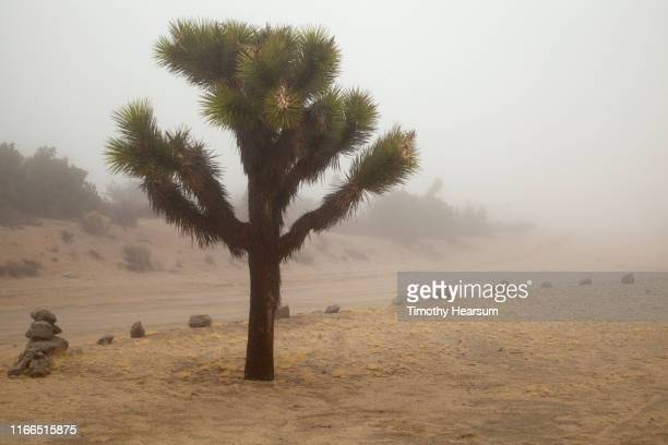 single joshua tree along a rock-lined dirt roadway in the fog - timothy hearsum bildbanksfoton och bilder