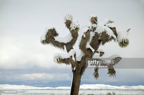 single joshua tree laden with snow; snow covered mountains and dramatic sky beyond - timothy hearsum stock pictures, royalty-free photos & images