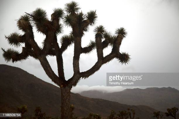 single joshua tree silhouetted against dark sky; fog bank rolling in over the distant mountains - timothy hearsum stock pictures, royalty-free photos & images
