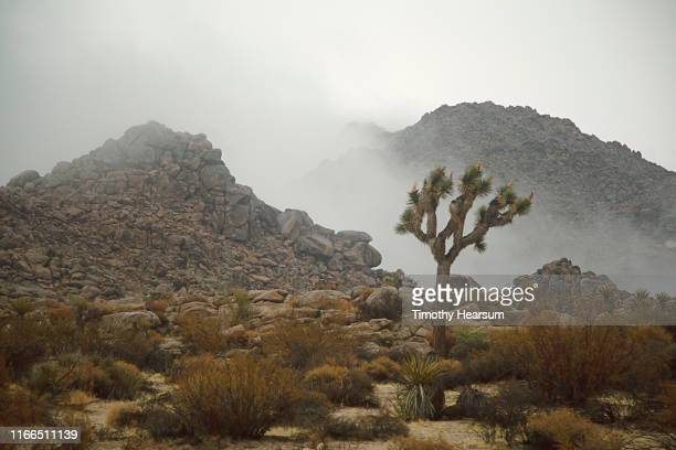 single joshua tree, yucca, other desert plants, boulders and mountains on a foggy day - timothy hearsum stock pictures, royalty-free photos & images
