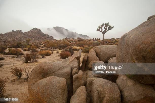 single joshua tree, yucca, other desert plants, boulders and mountains on a foggy day - timothy hearsum bildbanksfoton och bilder
