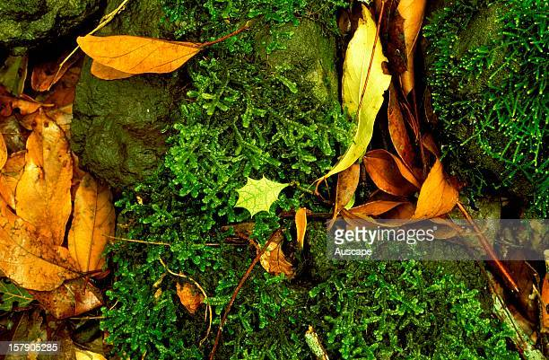 A single juvenile leaf of Native holly emerging between liverwort and mosscovered basalt rocks from the deep leaffall on the rainforest floor of...