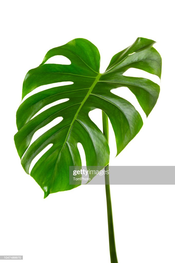 Single leaf of Monstera deliciosa palm plant isolated on white background : ストックフォト