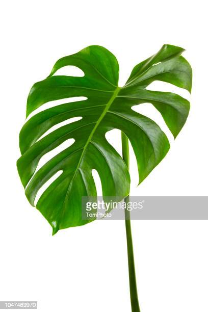 single leaf of monstera deliciosa palm plant isolated on white background - blatt pflanzenbestandteile stock-fotos und bilder