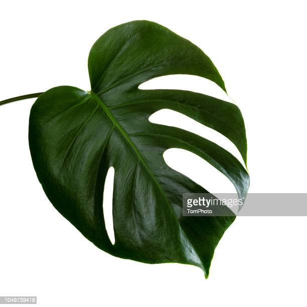 single leaf of monstera deliciosa palm plant isolated on white background - bush stock pictures, royalty-free photos & images