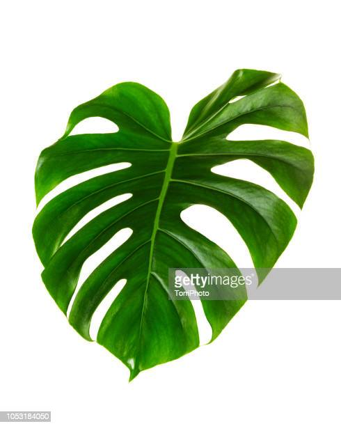 single leaf of monstera deliciosa palm plant isolated on white background - tropical bush stock photos and pictures