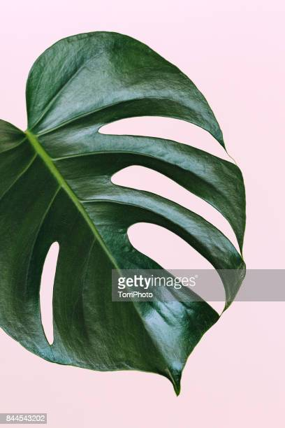 single leaf of monstera deliciosa palm plant on pink background - tropical bush stock pictures, royalty-free photos & images