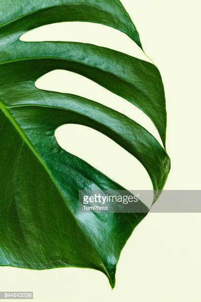Single leaf of Monstera deliciosa palm plant on yellow background