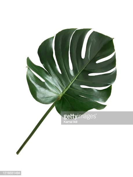single leaf of monstera - fensterblatt aroid stock-fotos und bilder