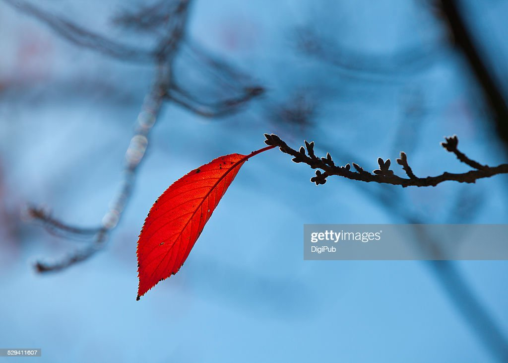 Single leaf remains on branch : Stock Photo