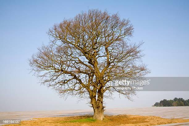 Single leafless oak tree in winter against blue sky Wantisden Suffolk England