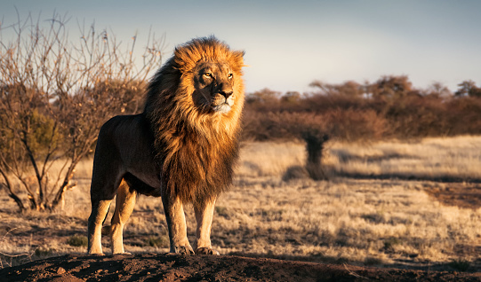 Single lion standing proudly on a small hill 638460056