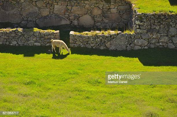 "single llama in machu picchu - ""markus daniel"" stock pictures, royalty-free photos & images"