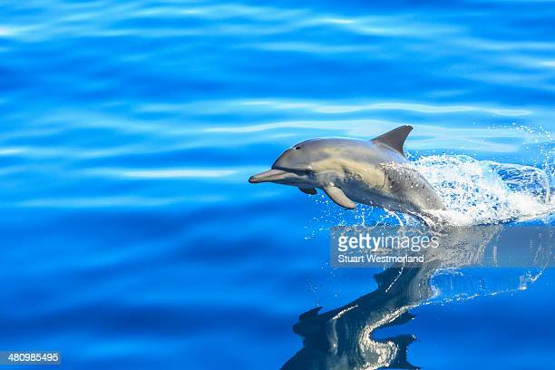 Single Long-beaked Common Dolphin (Delphinus capesis) jumping out of ocean, San Diego, California, USA