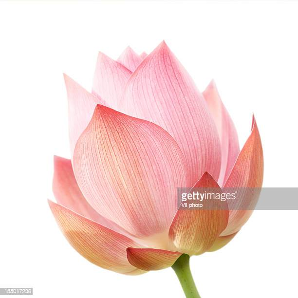 A single lotus flower on white background