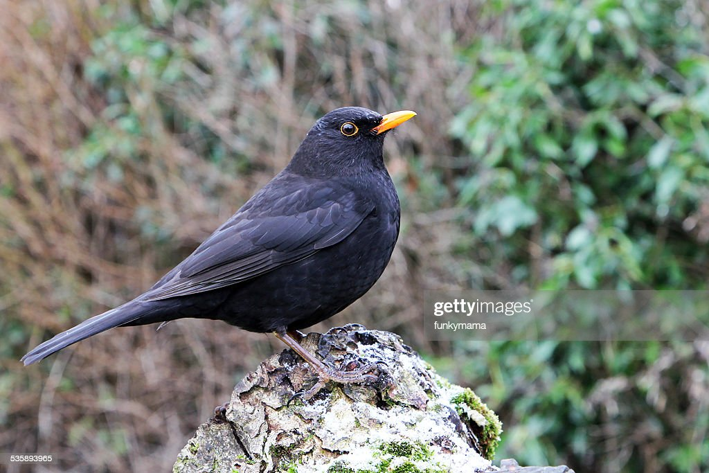 Single Male Blackbird on Tree Stump : Stock Photo