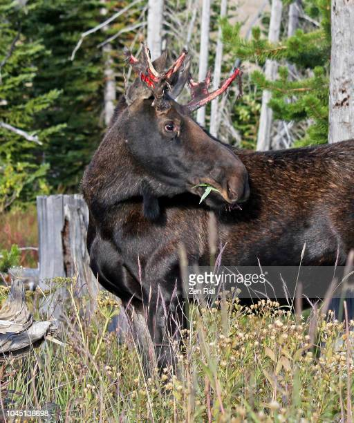 single male moose (alces alces) in grass area in a mountain pass in montana - manly wilder stock-fotos und bilder
