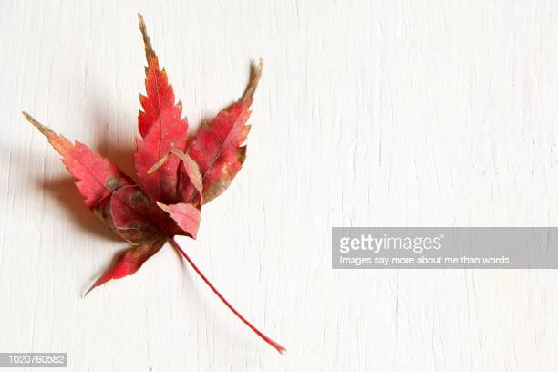 a single maple leaf over a white background. still life. - japanese maple stock pictures, royalty-free photos & images