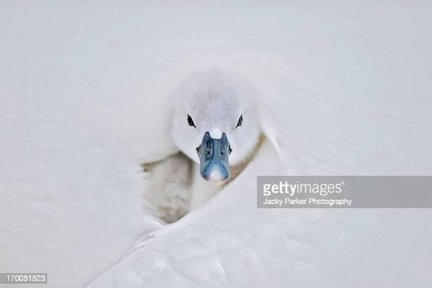 A single mute swan cygnet