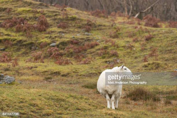 A single North Country Cheviot sheep looking away on a Scotland Hill