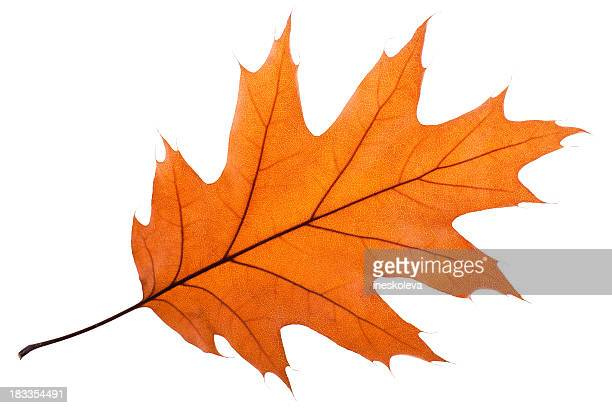 single oak leaf - leaves stock photos and pictures