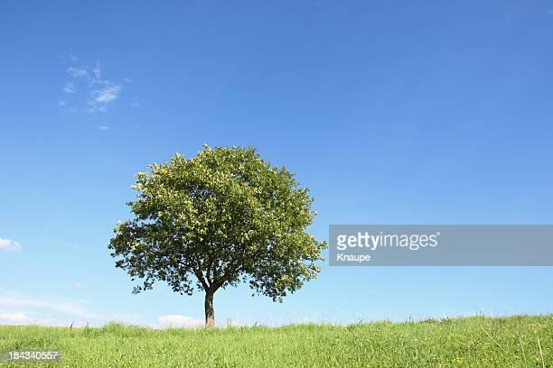 single eiche auf der wiese im sommer - laubbaum stock-fotos und bilder