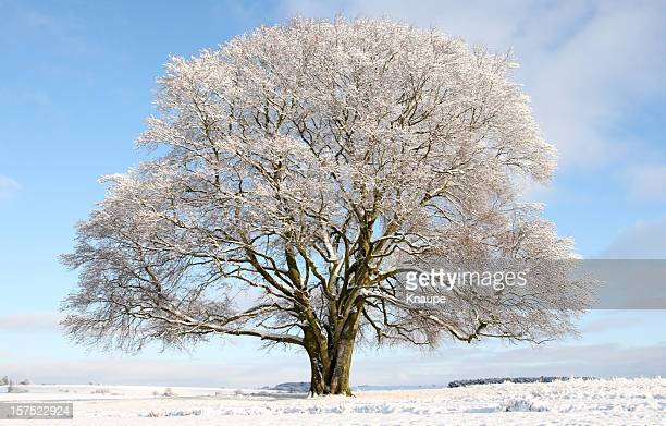 Single Old Bare Beech Tree in Winter covered with Snow