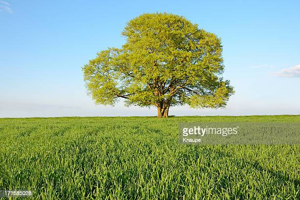 Single old beech tree on young wheat field in spring