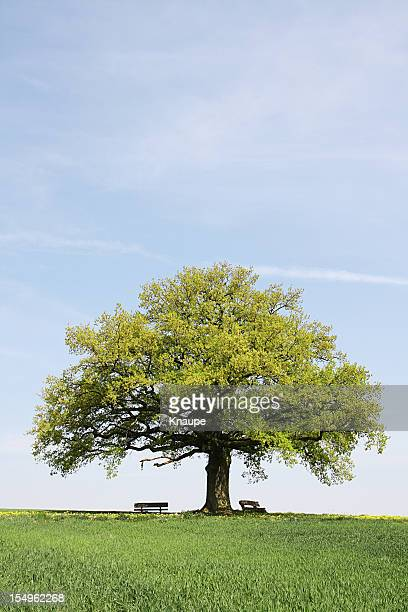 Single old  oak tree with benches behind young wheat field