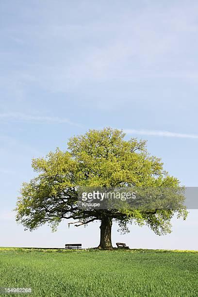 single old  oak tree with benches behind young wheat field - trädkrona bildbanksfoton och bilder