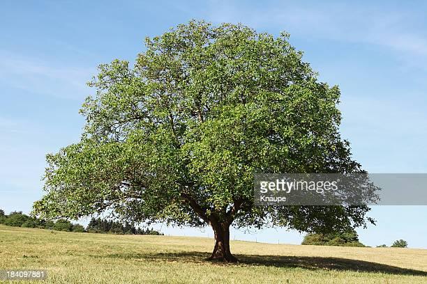 Single old walnut  tree on meadow with dry grass