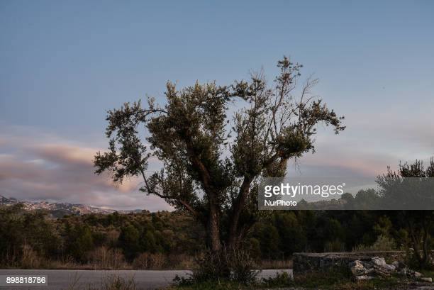 Single olive tree in the mountains of Euboea Greece on December 26 2017