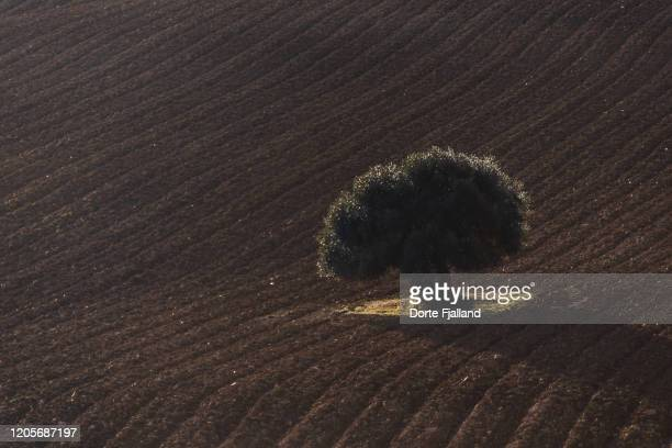 a single olive tree on a brown, freshly plowed field - dorte fjalland stock pictures, royalty-free photos & images