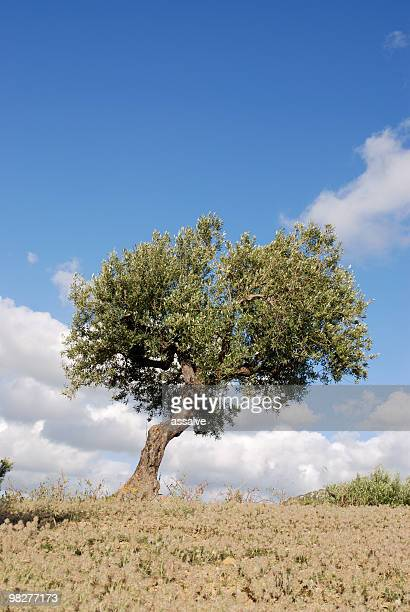 single olive tree - spanish olive stock photos and pictures