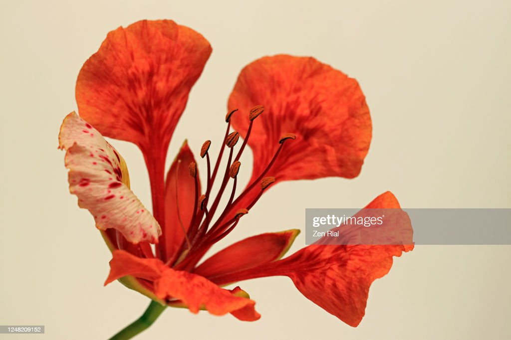 A single orange colored Royal Poinciana flower against cream background : ストックフォト