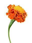 A single orange marigold flower on a white background