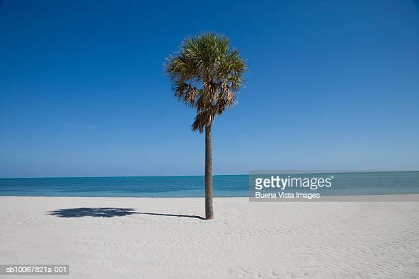 Single palm tree on Crandon Beach