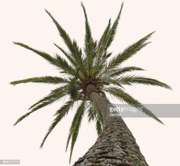 a single palm tree reaching for the sky against white background - overexposed stock pictures, royalty-free photos & images