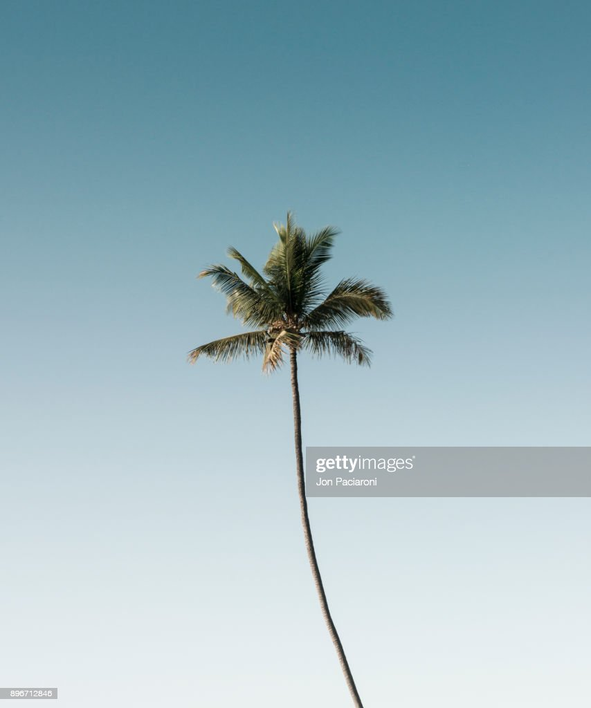 A Single Palm Tree Rising into a Clear Blue Sky : Stock Photo
