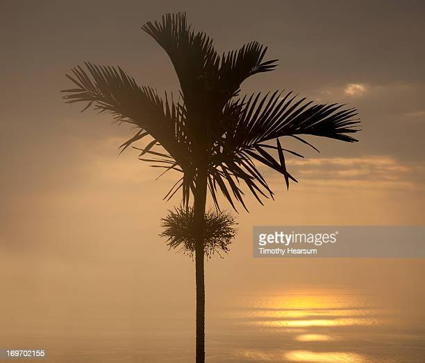 single palm tree; setting sun reflected on ocean - timothy hearsum stock photos and pictures