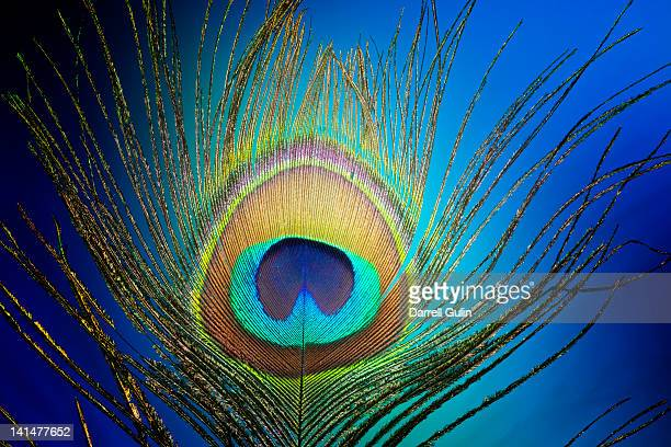 Single peacock tail feather with blue background