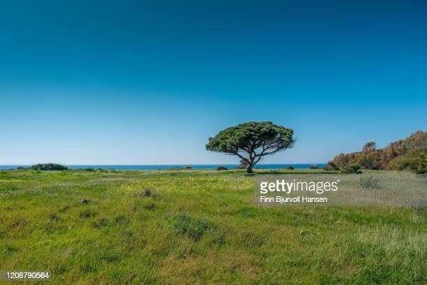 a single pine tree standing in a green field. the atlantic ocean in the background - finn bjurvoll stockfoto's en -beelden