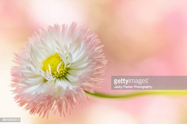 a single pink and white daisy summer flower taken against a soft pink bokeh background - daisy stock photos and pictures