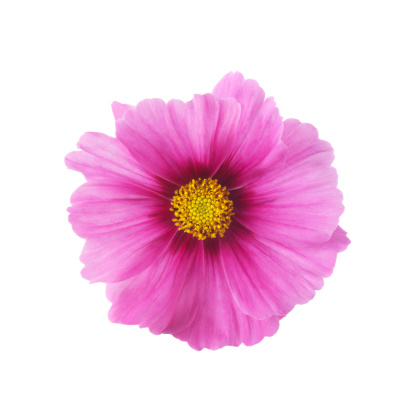 Single pink cosmos flower in close-up - gettyimageskorea