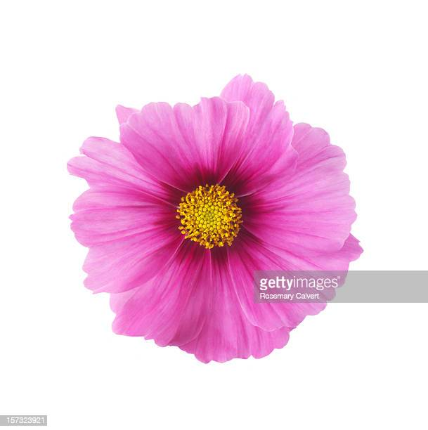 single pink cosmos flower in close-up - cosmos flower stock photos and pictures
